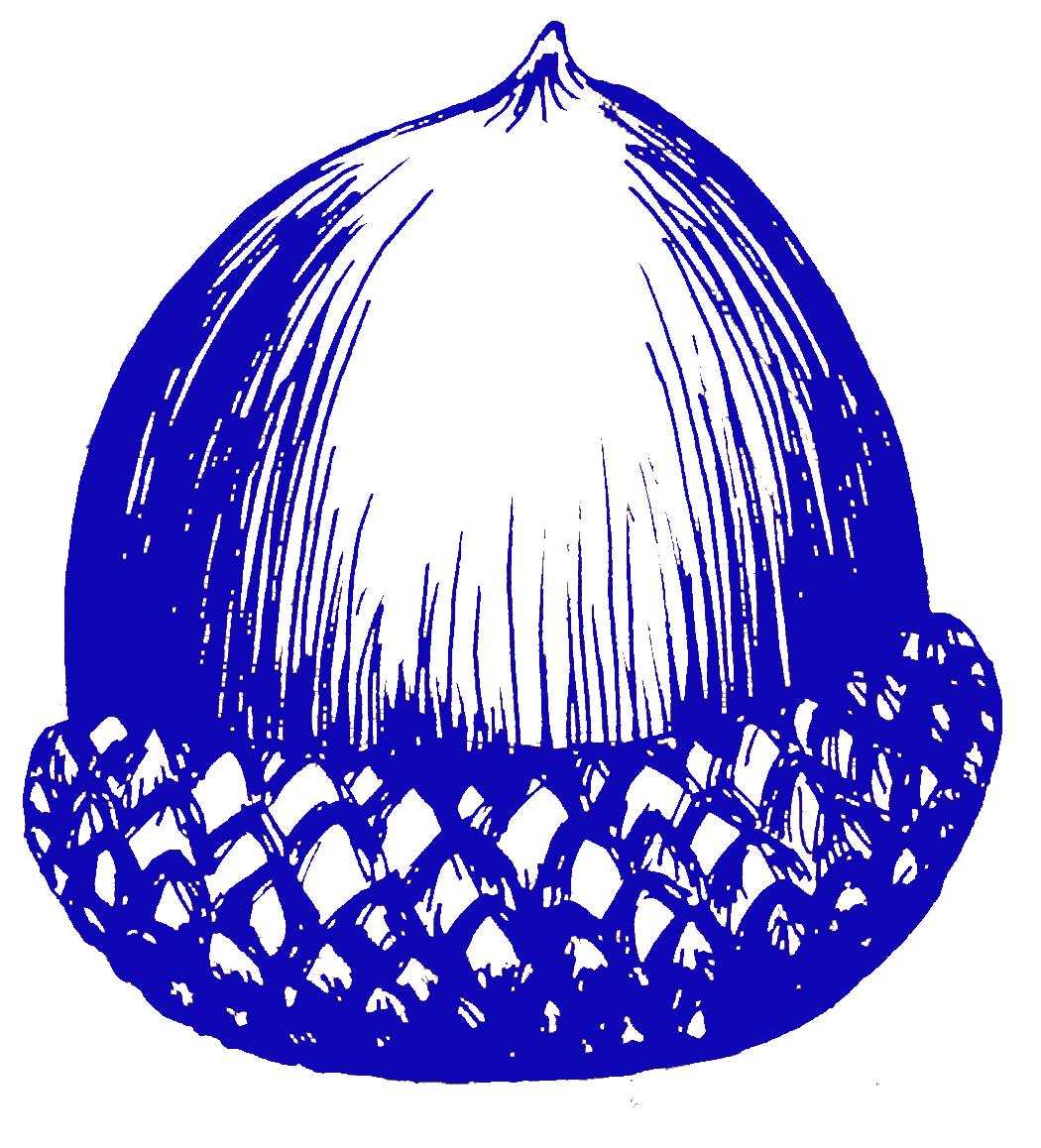 acorn blueBlue Oak Acorn