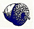 blue-acorn1